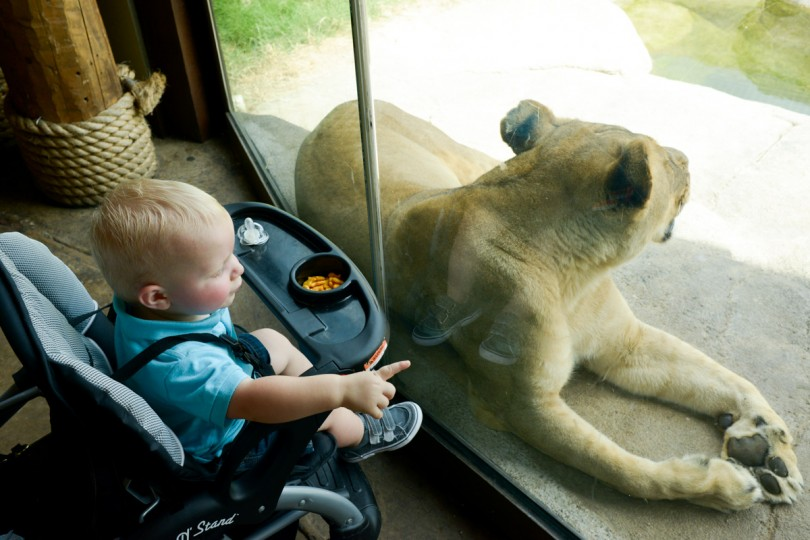 Luke loved seeing the lions up so close.