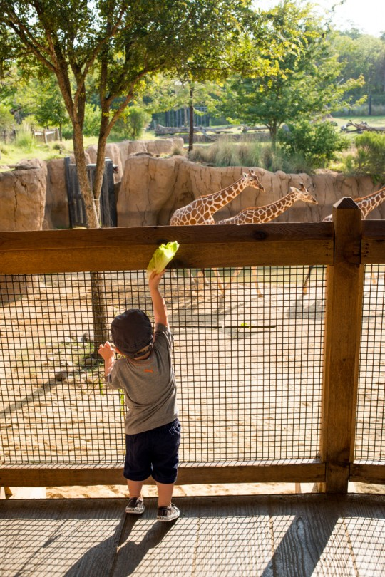 Trying his hardest to feed the giraffes himself! My little Mr. Independent!